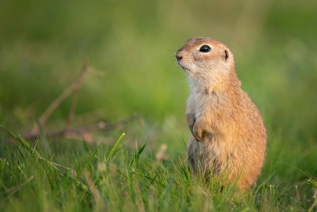 Grundeichhörnchen (spermophilus pygmaeus) im gras stehend