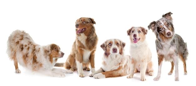 Gruppe australischer schäferhund