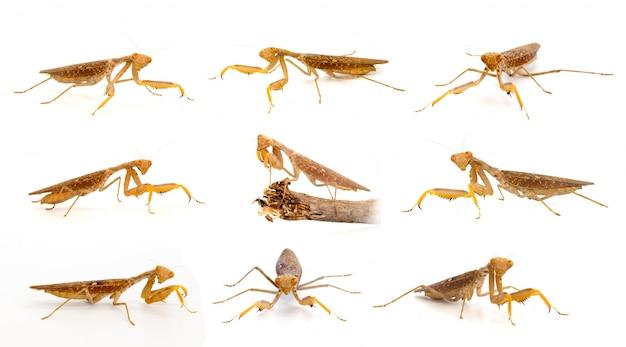 Gruppe der braunen gottesanbeterin lokalisiert. insekt. tier.