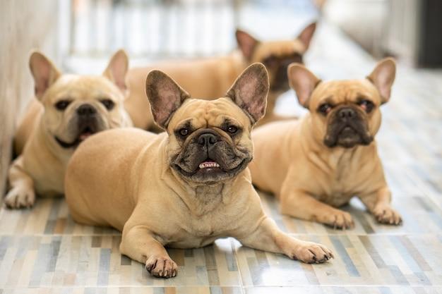 Gruppe der französischen bulldogge, die am fliesenboden innen liegt.
