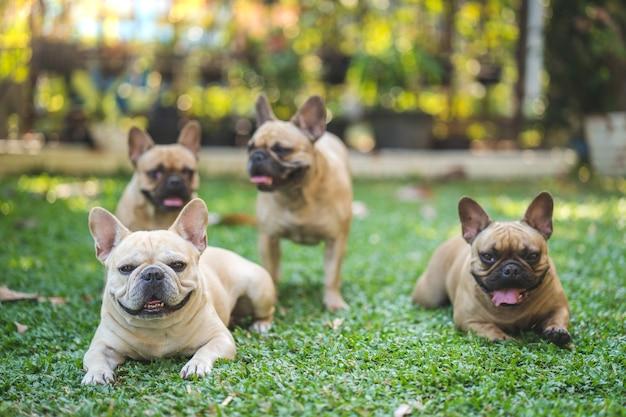 Gruppe der französischen bulldogge, die auf gras im garten liegt.