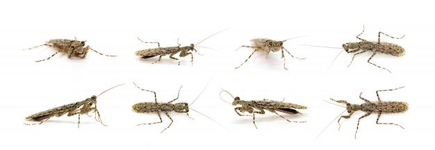 Gruppe der getarnten borkengottesanbeterin (liturgusa-sp.). insekt. tier.