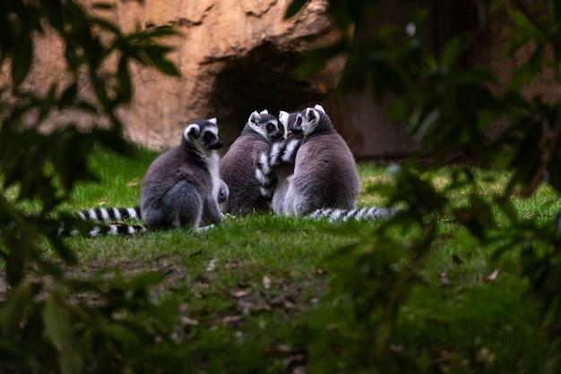 Gruppe der katta, die unter bäumen in madagasacar gesehen wird. lemur catta lemuridae.