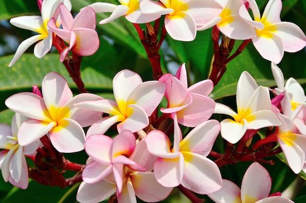 Gruppe der rosa plumeriablume auf niederlassungsbaum-blatthintergrund