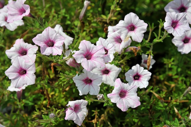 Gruppe der rosa und weißen petunienblume.