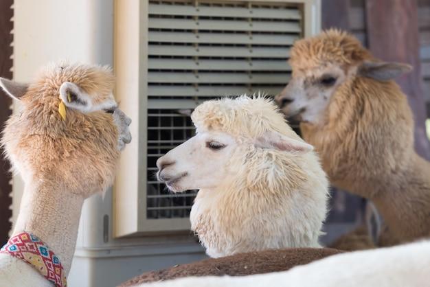 Gruppe des alpakas sitzend vor klimaanlage.