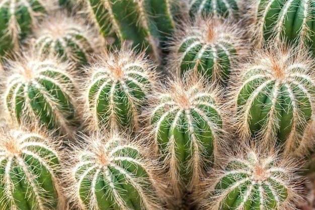 Gruppe des grünen flaumigen kaktus, nahaufnahme.