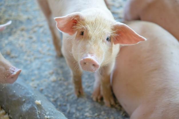 Gruppe des schweins, das im lokalen schweinbauernhof viehbestand gesund betrachtet.