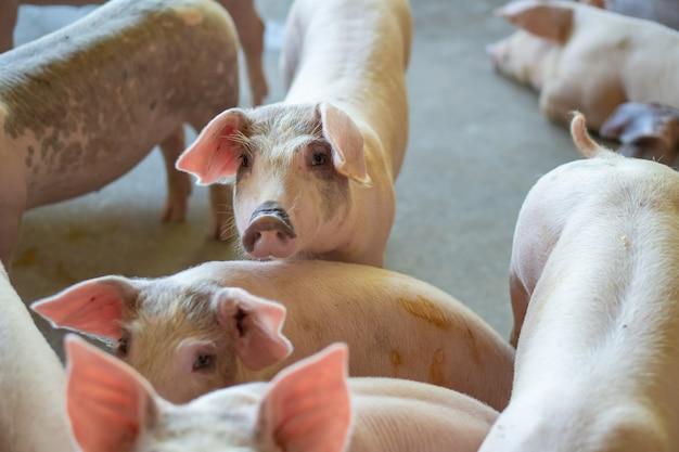 Gruppe des schweins, das in der lokalen asean-schweinefarm am viehbestand gesund schaut.
