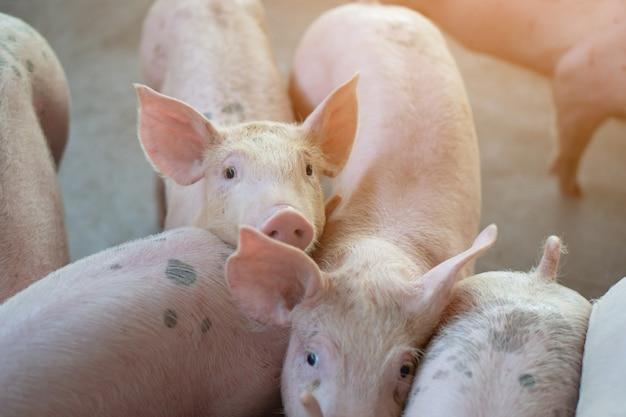 Gruppe des schweins, das in lokaler asean-schweinefarm viehbestand gesund betrachtet.