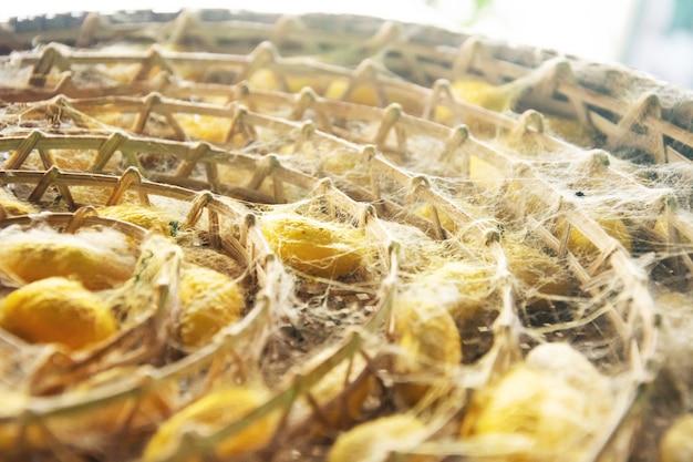Gruppe des seidenkastenwurmkokons färben gelb, seidenraupe bereiten sich für make-thread vor.