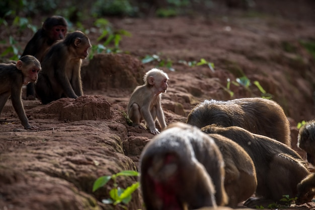 Gruppe des stumpfs band makaken an, tragen makaken (macaca arctoides) essen und stehen während eines ruhigen sonnigen abends an der phetchaburi-provinz, nicht jagdgebiet khao kapook khao tormoor, thailand still