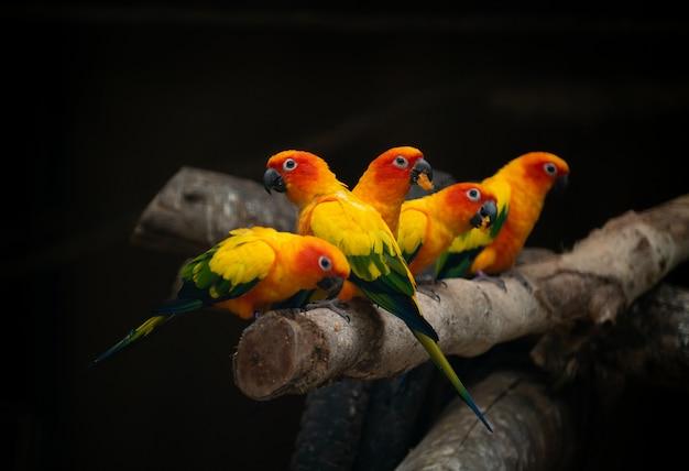 Gruppe des sunconure papageienvogels