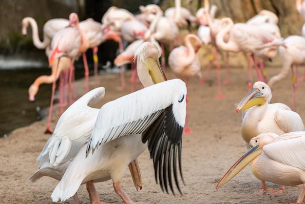 Gruppe gemeine pelikane, pelecanus onocrotalus, unter sich argumentierend mit flamingos