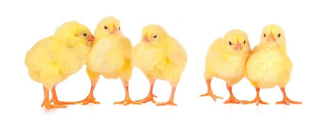 Gruppe hühner auf einer weißen oberfläche