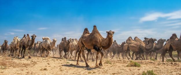 Gruppe kamele, die in wüste gehen