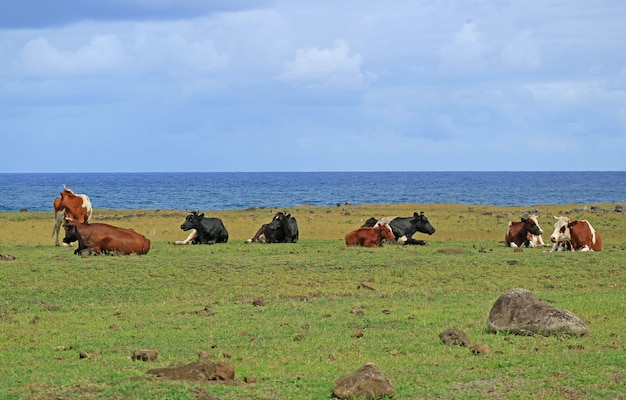 Gruppe kühe, die an der küste nahe ahu tongariki auf osterinsel von chile sich entspannen