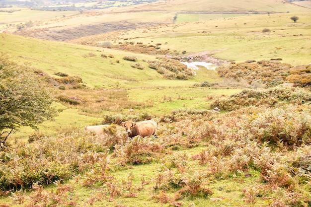 Gruppe kühe, die auf großen grünen weiden weiden lassen