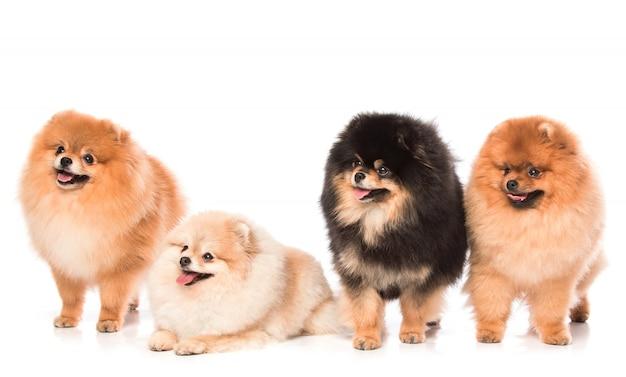 Gruppe pommersche spitzhunde