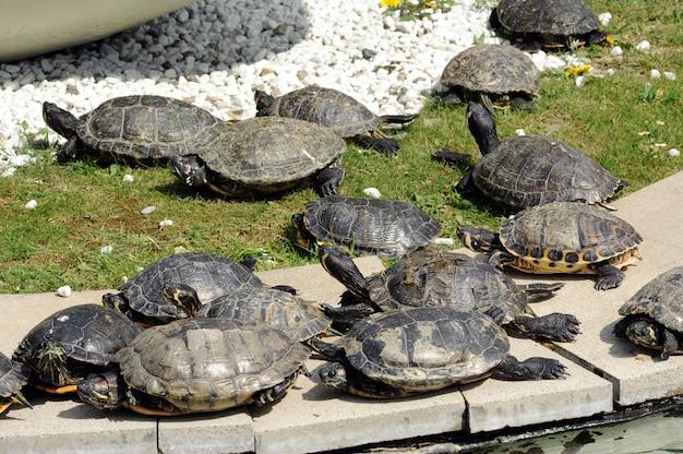 Gruppe schildkröten, die sich sonnen