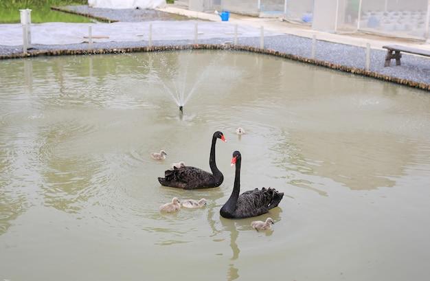 Gruppe schwäne, die in teich schwimmen.