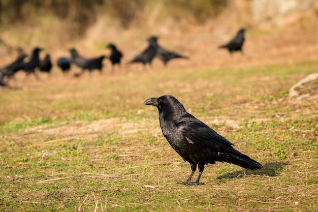 Gruppe schwarze krähen