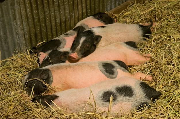 Gruppe schweine im bauernhofyard