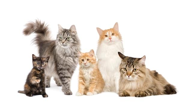 Gruppe von 5 katzen in einer reihe: norwegische, sibirische und persische katze in einer reihe isoliert