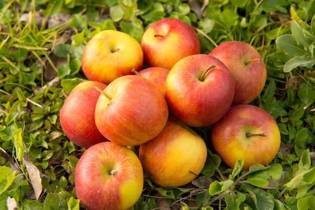 Gruppe von äpfeln im gras, nahe einem baum