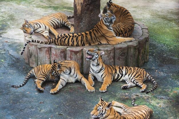 Gruppe von bengal-tiger ruht und schläft