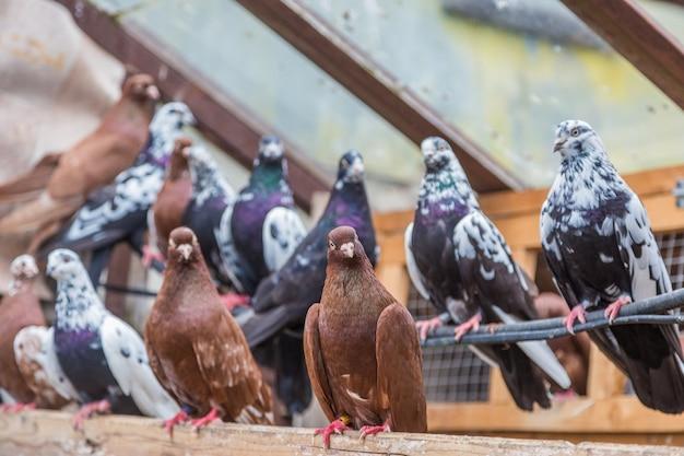 Gruppe von brieftauben, die in einem vogelhaus ruhen