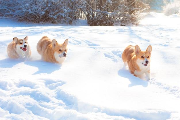 Gruppe von corgi-hunden, die im schnee auf einem spaziergang im winter laufen
