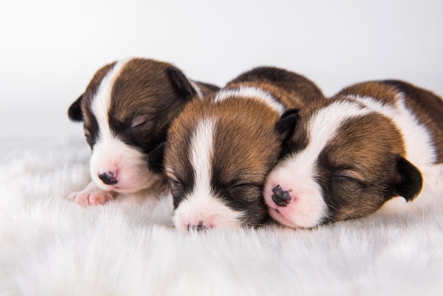 Gruppe von drei pembroke welsh corgi pembroke welpenhunden isoliert auf weißer landschaft