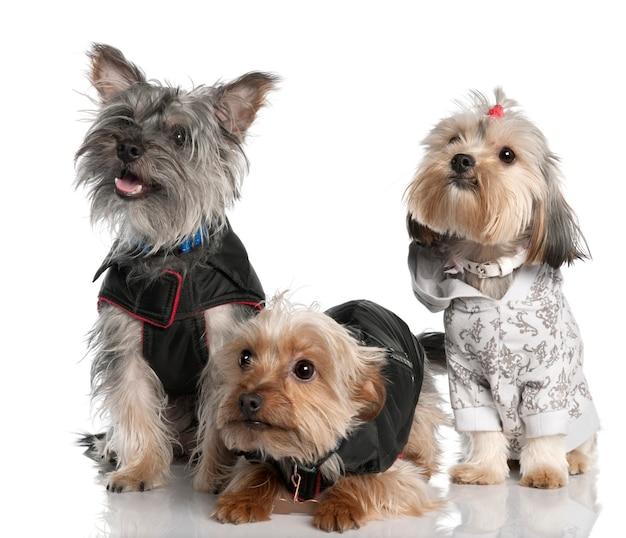 Gruppe von drei yorkshire terrier mit 2 jahren und 8 monaten. hundeporträt isoliert