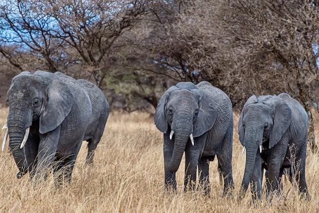 Gruppe von elefanten, die auf dem trockenen gras in der wildnis gehen