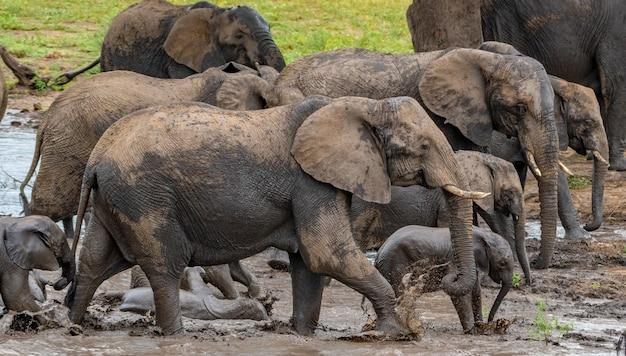 Gruppe von elefanten, die tagsüber aus einem schmutzigen teich auf einem feld im sonnenlicht kommen