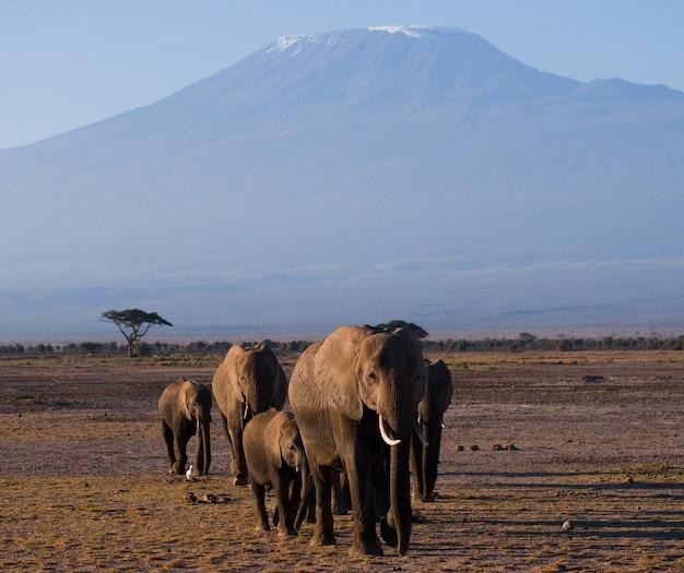 Gruppe von elefanten geht in savanne auf hintergrund kilimanjaro.