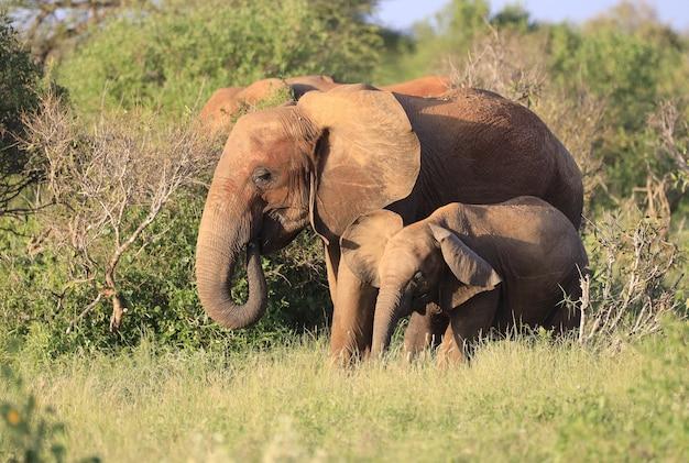 Gruppe von elefanten im tsavo east national park, kenia, afrika