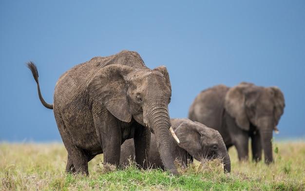 Gruppe von elefanten in der savanne