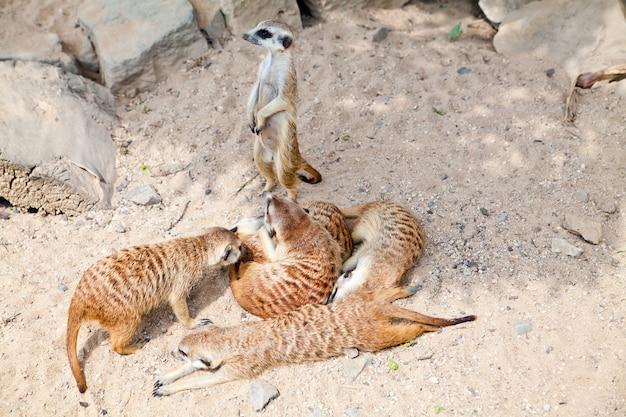 Gruppe von erdmännchen, die in einem natürlichen zoo liegen