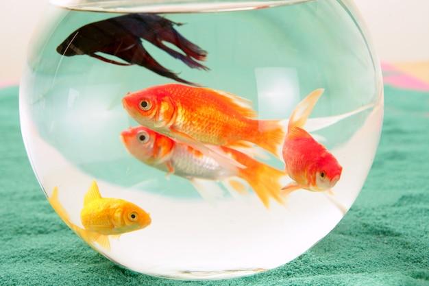 Gruppe von fischen in einem goldfischglas