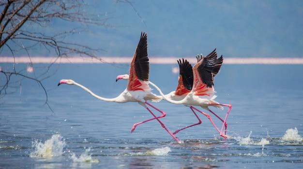 Gruppe von flamingos vor dem start