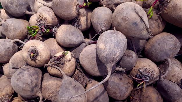 Gruppe von frühen rote-bete-wurzeln nahaufnahme frühe rote-bete-textur-rüben beta vulgaris