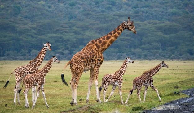 Gruppe von giraffen in der savanne
