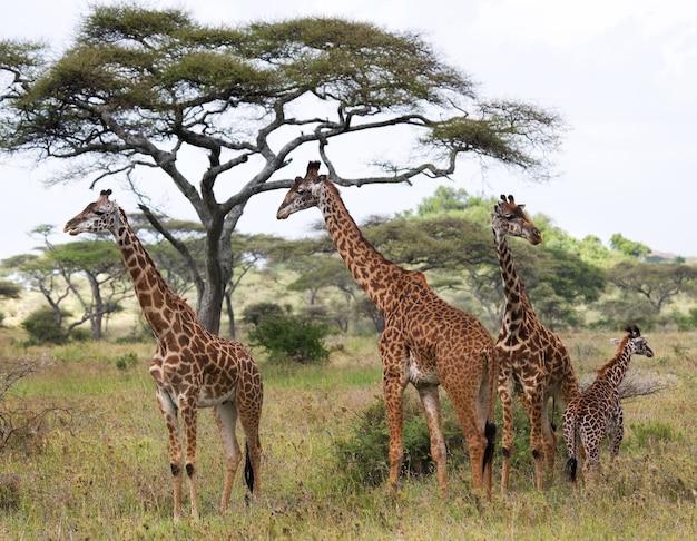 Gruppe von giraffen in der savanne.