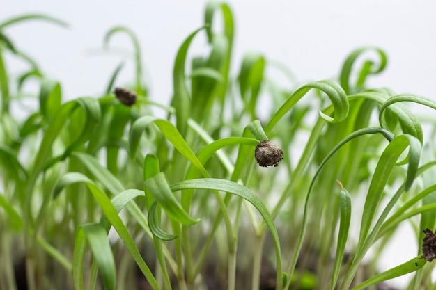 Gruppe von grünen sprossen, die aus dem boden herauswachsen. samenschale auf gekeimtem spross