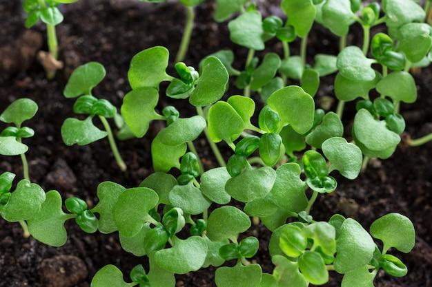 Gruppe von grünen sprossen, die aus dem boden herauswachsen.