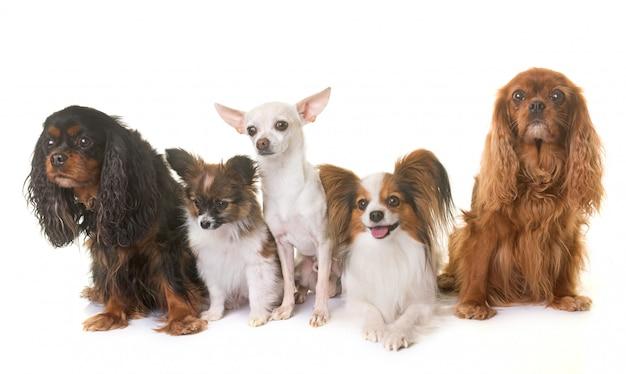 Gruppe von kleinen hunden