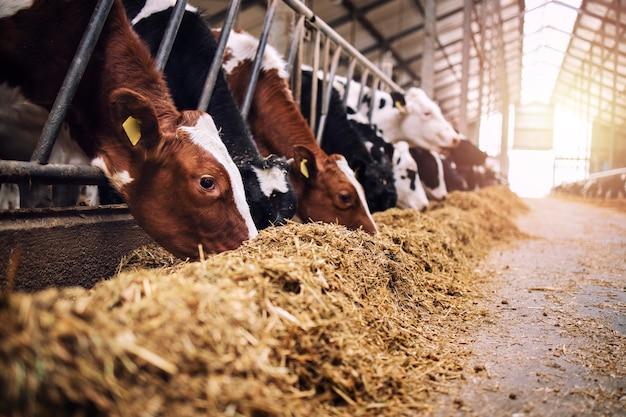 Gruppe von kühen am kuhstall, die heu oder futter auf milchviehbetrieb essen.