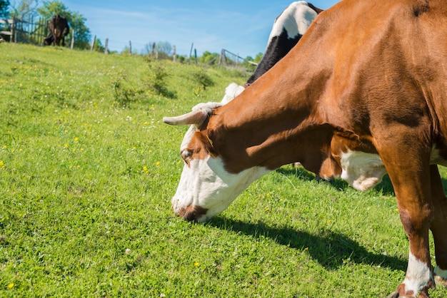 Gruppe von kühen, die gras auf dem feld weiden lassen